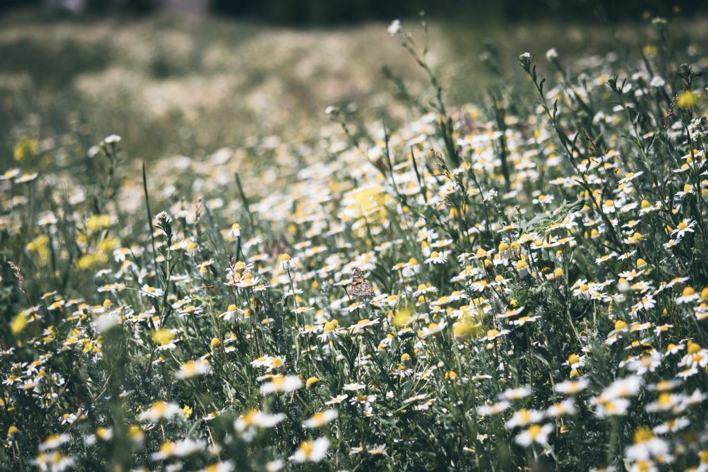 chamomile is often used as the basis of medicine to relieve symptoms when a child has chickenpox